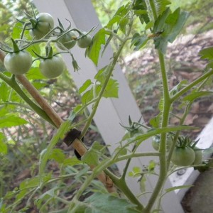 Little tomatoes, ripening on the vine